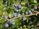 Semaine de l'Arbre : découvrez le prunellier ou l'épine noire