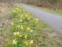 Le printemps est là, les narcisses aussi ! Merci les Scouts !